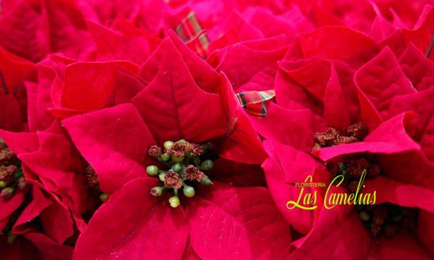 Flor de Pascua (Poinsettia), la flor de la Navidad.