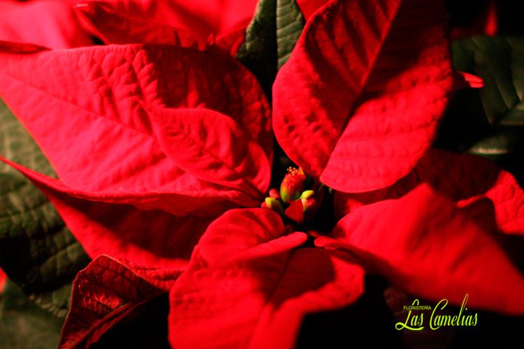 Flor de Pascua Navidad Poinsettia