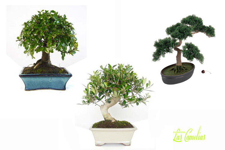 comprar bonsais en floristeria madrid