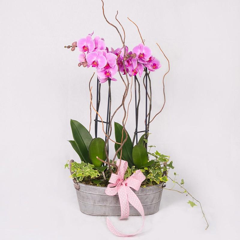 Orquídea Cracovia