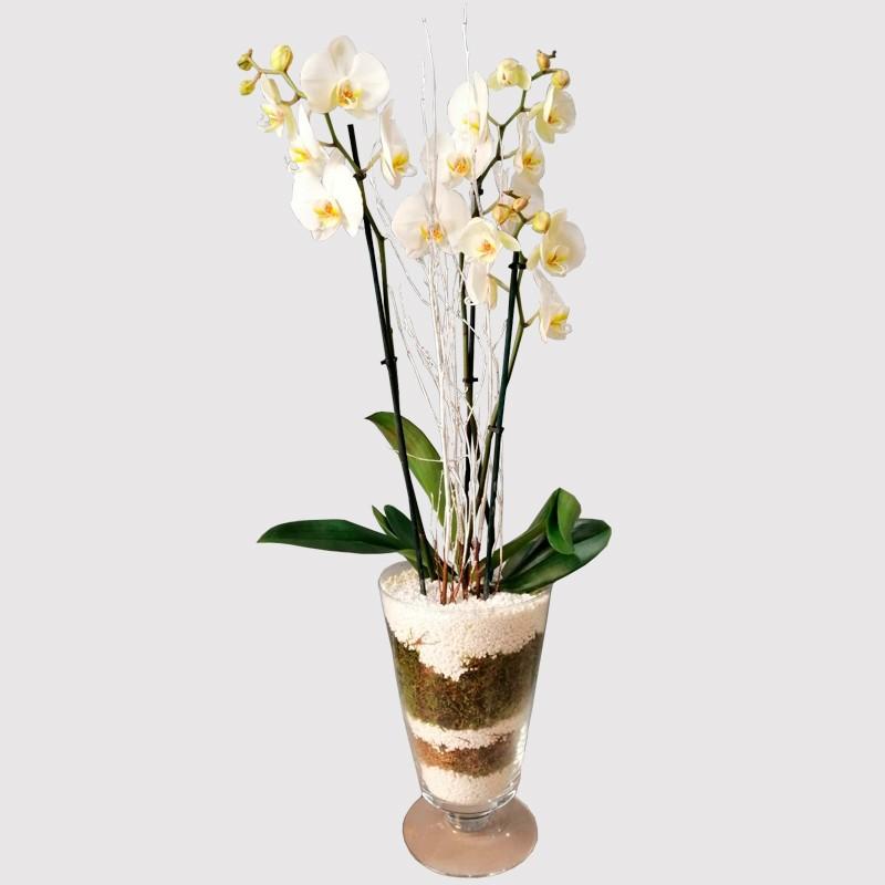 Orquídea Tatami