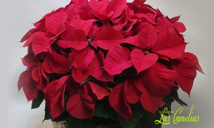 Ponsetia: la flor roja