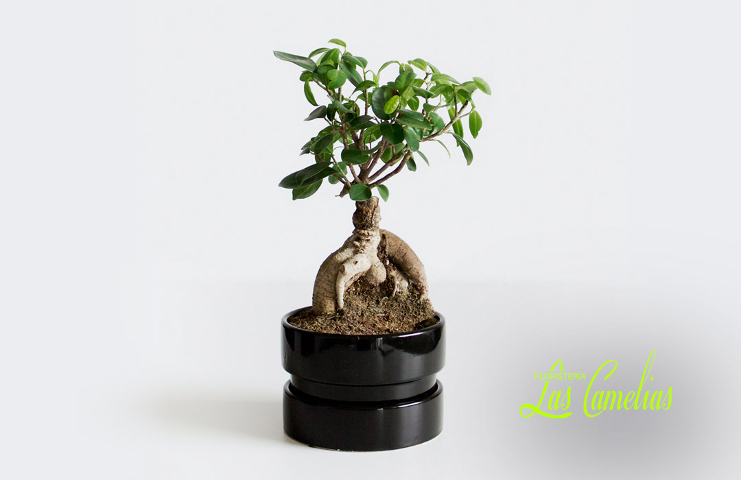 cuidado de los bonsais